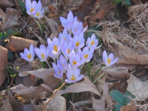 Crocus popping up